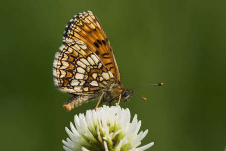 butterfly (melitaea athalia), sitting on white clover (trifolium repens) , very small depth of field photo