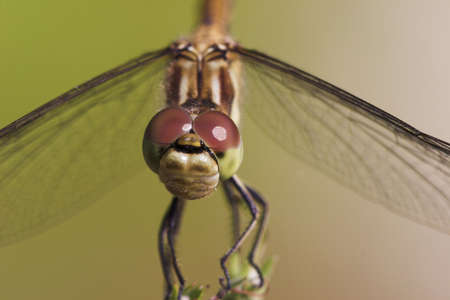 heath dragonfly macro unsharp background Stock Photo - 291290