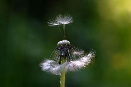seed of dandelion (taraxacum officinale), very small depth of field. photo