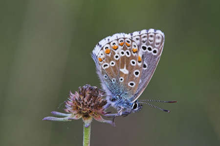 butterfly (polyommatus icarus) photo