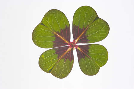 rom: fourleafed clover, rom. oxalis, symbol of luck Stock Photo