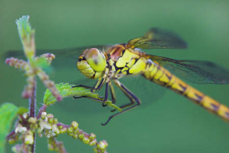 dragonfly seems to laugh, heath dragonfly, female (sympetrum striolatum) Stock Photo - 301868