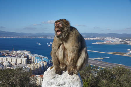 Gibraltar, monkey rock, a Berber monkey sits threateningly, with its mouth wide open on a railing, behind it the sea gorge of Gibraltar with airport and runway,