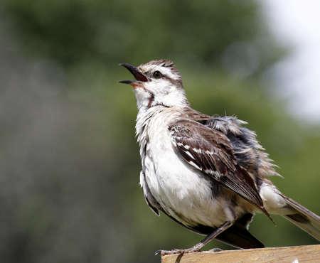 mockingbird: Chalked-browed mockingbird singing on ledge