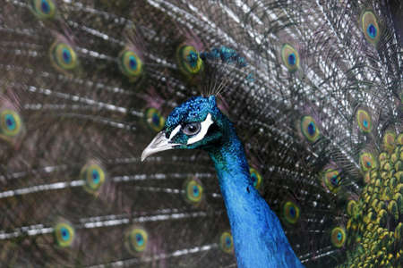 indian peafowl: Blue peacock profile with tail Stock Photo