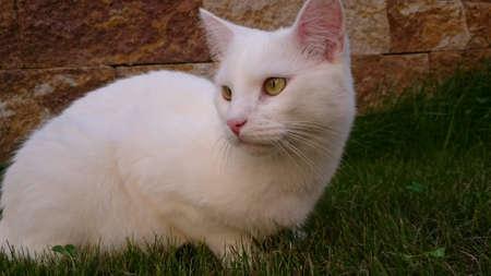 white: White cat