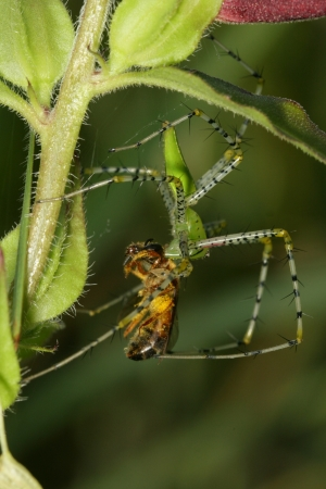 arachnid: spider eat dragonfly in rainforest from southern of thailand Stock Photo