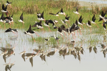 Black-winged Stilt from lake in sounthern of thailand photo