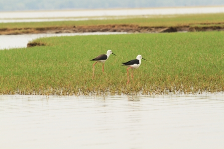 angel alone: Black-winged Stilt from lake in sounthern of thailand
