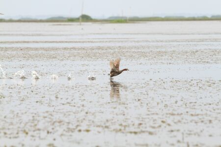 tarnished: Ringed teal running overlake from southern of thailand Stock Photo