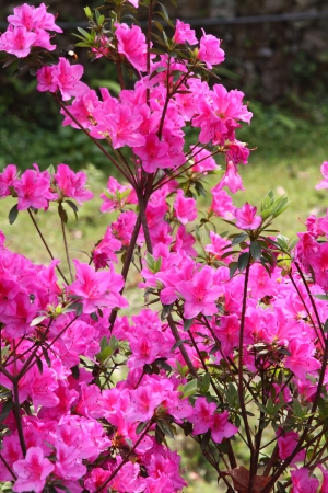 canceled: Rhododendron arboreum from india