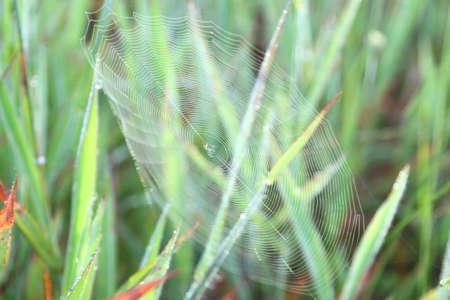 peat: cobweb in grass northeast of thailand