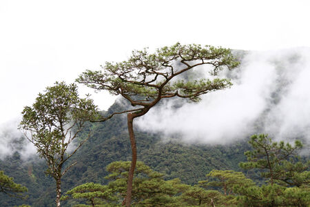 detritus: fog in pine forest northeast of thailand Stock Photo