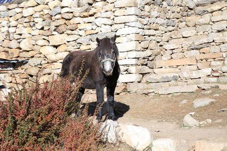 everest: horse from everest trek route in nepal