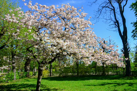 Beau Cherry Blossom In Gardent From Austria Stock Photo   81805890