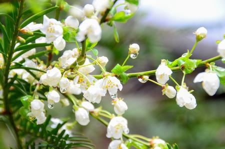 벚꽃과 dewdrop 오스트리아에서 gardent에서 스톡 콘텐츠