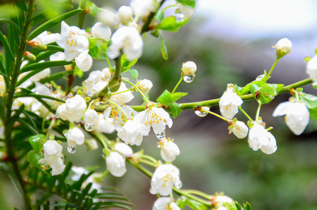 cherry blossom and dewdrop in gardent from  austria