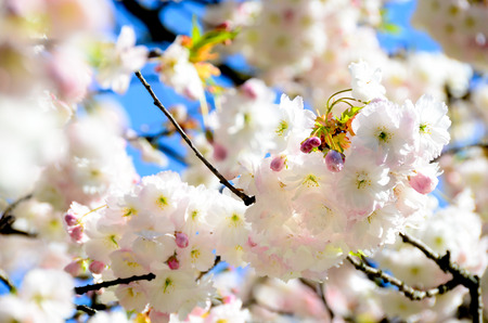 cherry blossom in gardent from Hallstatt Bahnhst austria