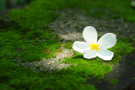 White flower on moss background photo