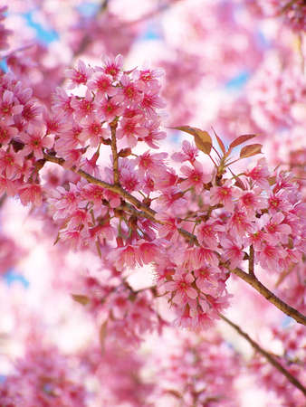 Wild Himalayan Cherry blossom in north of Thailand photo