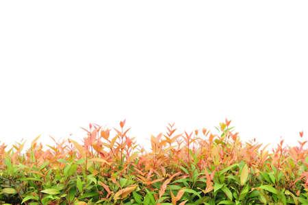 shrub fence  photo