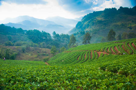 Strawberry Farm at Doi Ang Khang, Chiang Mai, Thailand photo