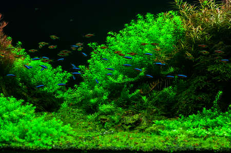 Fished swim in a green beautiful planted tropical freshwater aquarium