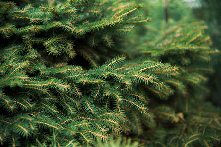 Christmas fir tree branches Background. Christmas pine tree wallpaper Imagens