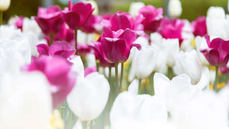Beautiful pink and white Tulips flower. Growing flowers in spring Imagens