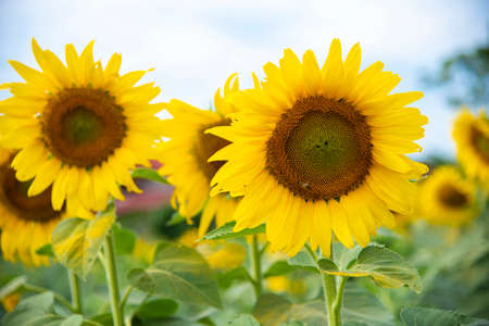 The yellow sunflowers are blooming in a field of sunflowers.