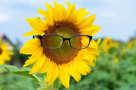 Sunflower wear eye glasses blooming in the sunflower plantation Imagens