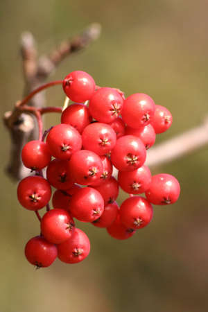 ashberry: red ashberry