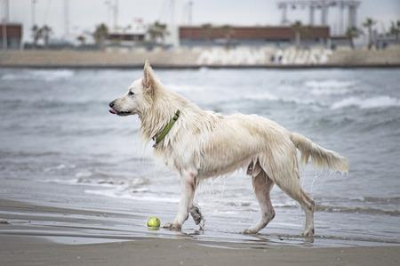 white shepherd dog: Swiss white shepherd dog beach water