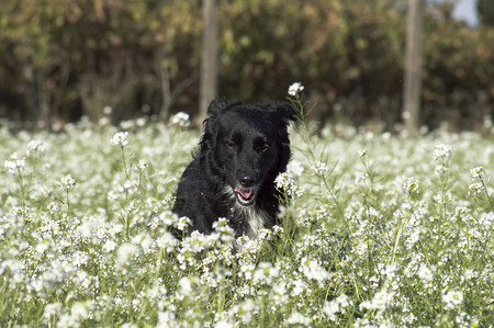border collie: Border Collie dogs Stock Photo