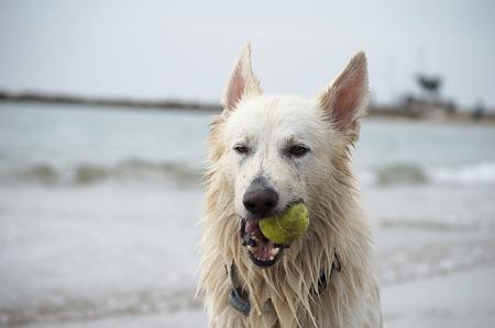 white shepherd dog: Swiss white shepherd dog