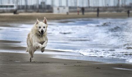 white shepherd dog: Swiss white shepherd dog running by the beach
