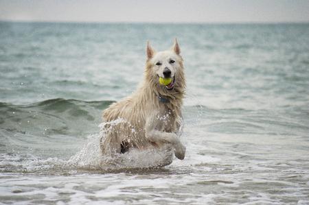 white shepherd dog: Swiss white shepherd dog at the beach