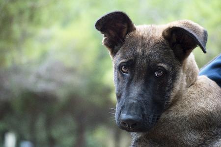 potrait: Belgian Shepherd mallinois potrait Stock Photo