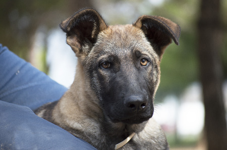 belgian: Belgian Shepherd mallinois potrait Stock Photo