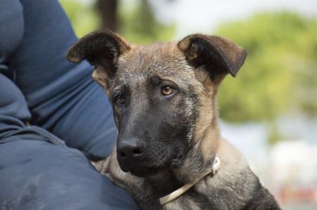 potrait: Belgian Sheepdog mallinois potrait