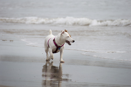 jack russel: jack russel dog on the beach Stock Photo
