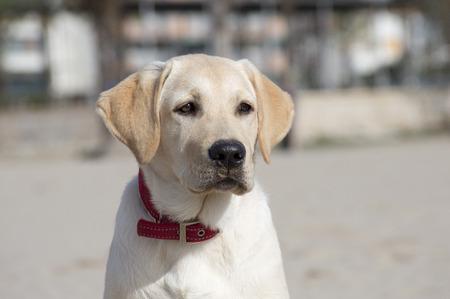 potrait: labrador retriever dog potrait