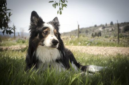 collie: Border Collie dog potrait