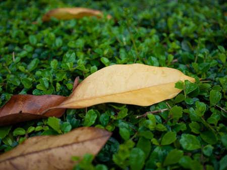 defoliation: The defoliation with raindrop trees
