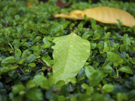 defoliation: The defoliation with raindrop on the bush