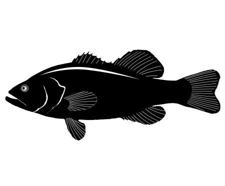 freshwater fish: Large Mouth Bass. Illustration