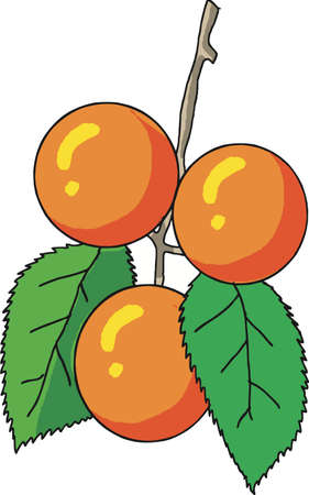 Apricot Fruit Vector illustration.