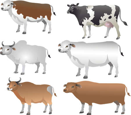 Cattle , Cow, Bull, Lifestock  Animal - Vector Illustration