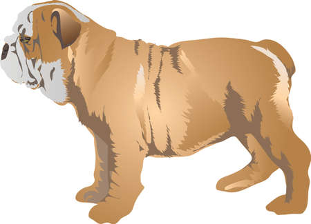 English Bulldog , Pet Animal - Vector Illustration