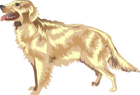 Golden Retiever Dog , Pet Animal - Vector Illustration
